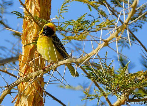 thorn-bird