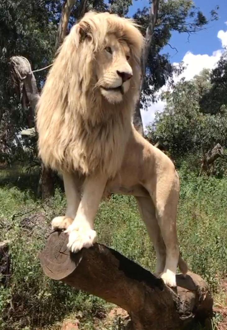 sun lion shalom