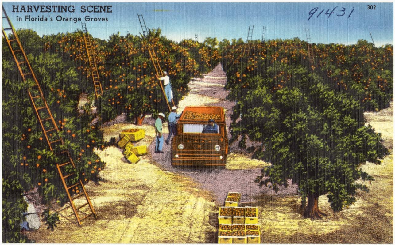 Harvest Oranges